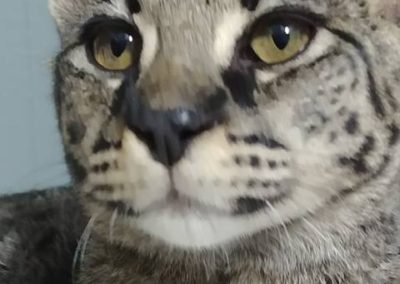 Chaton Exotik Cats