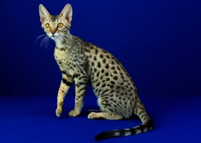 Jinny Exotik Cats