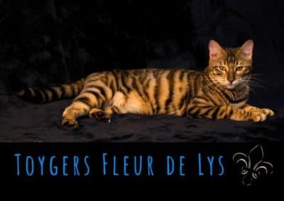 toyger-quebec-canada-usa_Naury 1
