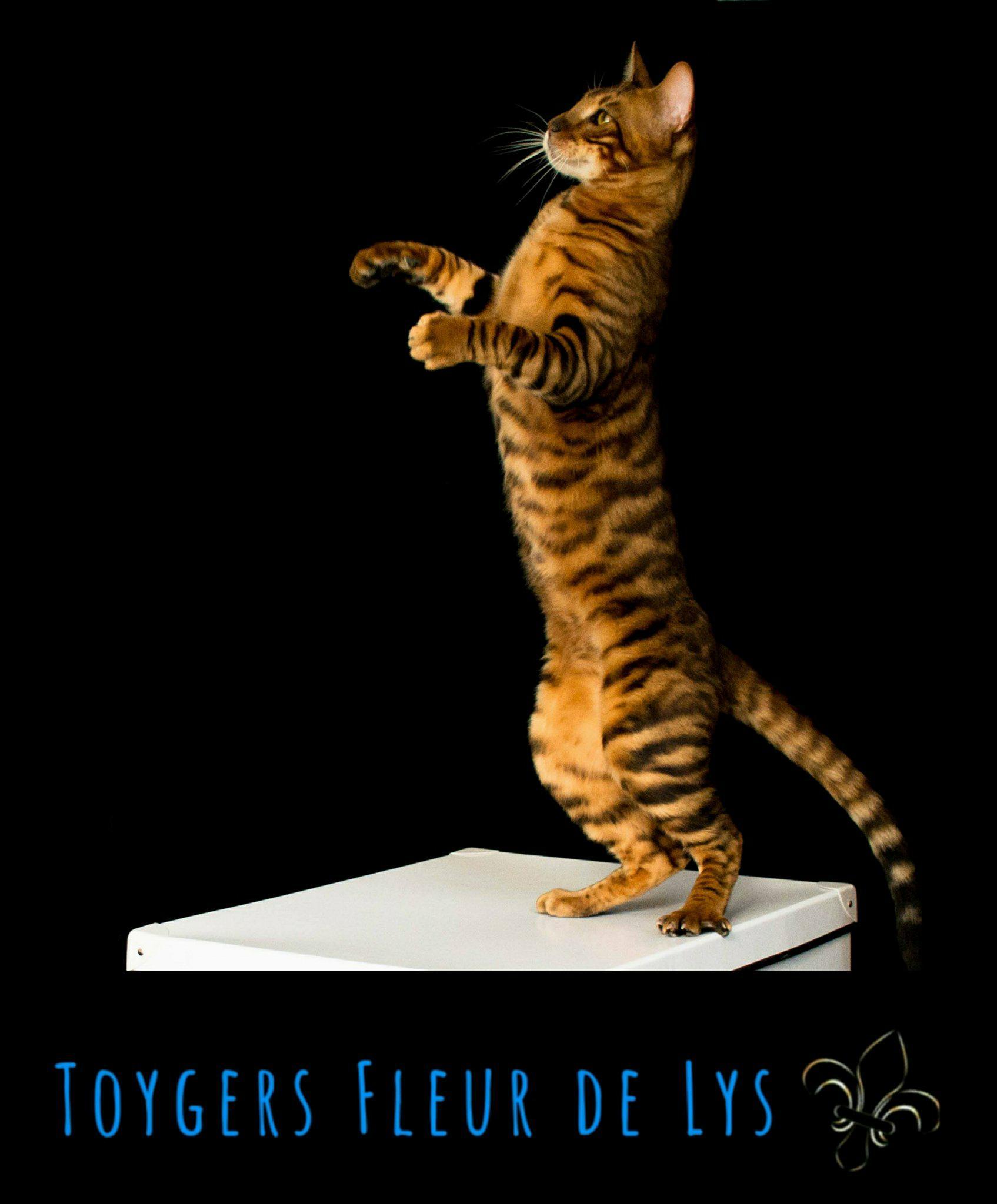 Toygers Fleur de Lys | Recommended Breeder | Breeder Advisor