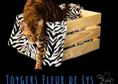 toyger-quebec-canada-usa_Sheldon 10