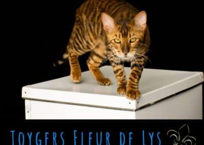 toyger-quebec-canada-usa_Sheldon 9