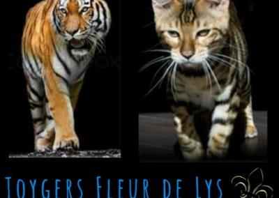 toyger-quebec-canada-usa_Tigre Naury 3