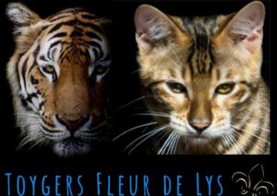 toyger-quebec-canada-usa_Tigre Naury 4