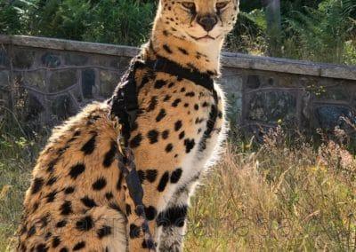 Savannah Serval Canada