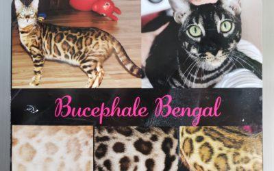 Bucephale Bengal