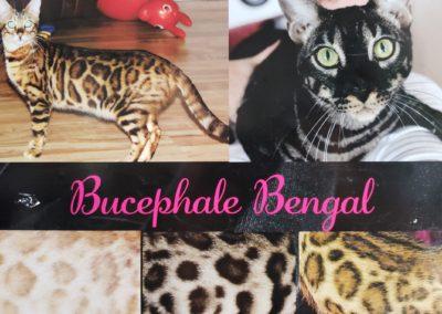 Bucephale Bengal 2