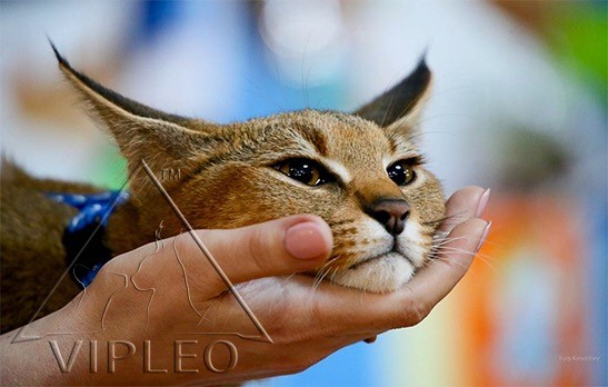 VIPLEO® | Caracat, Serval, Chaussie | Breeder Advisor