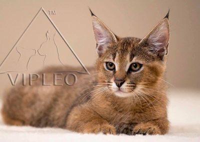 Vipleo (2)