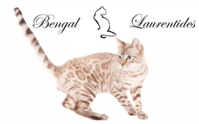Bengal Laurentides