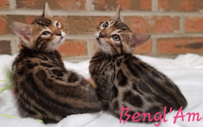 Bengl'Amour cattery