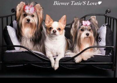 Biewer Tatie's Love (4)