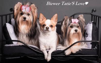 Biewer Tatie's Love